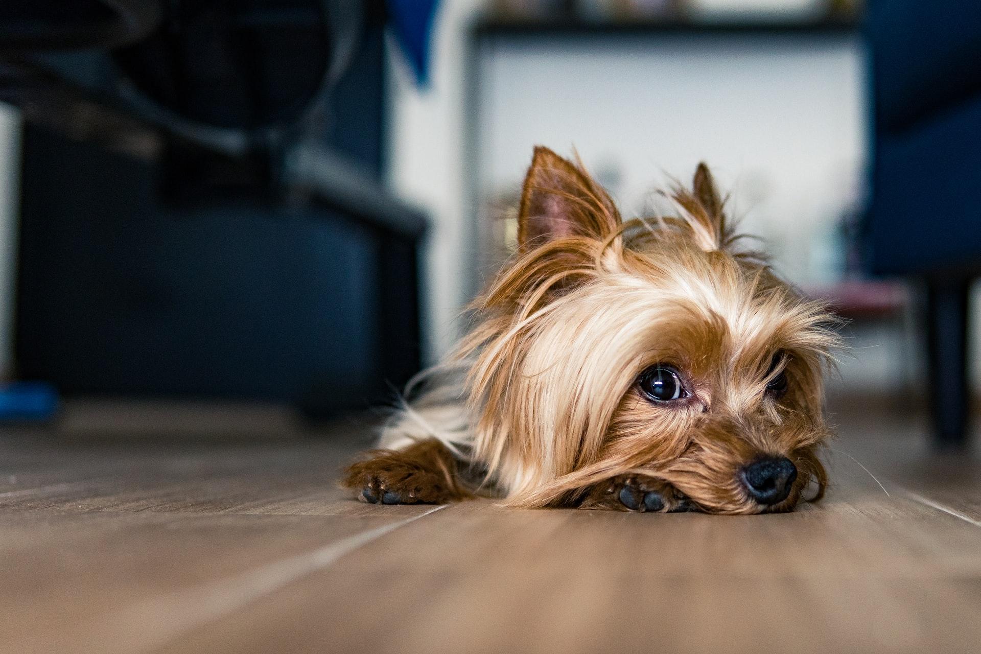 les petits chiens préférés des français